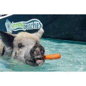 Famous Swimming Pigs Tour